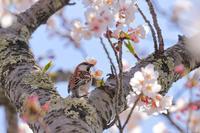 桜とニュウナイスズメ - やきとりブログ