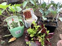野菜の苗 - ヨガと官足法で素敵生活