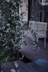 木香薔薇が見頃 - お庭のおと