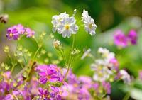庭の花 - ひな日記