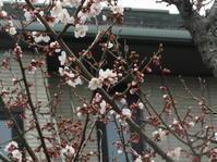梅が3分咲きです - 日頃の思いと生理学・病理学的考察