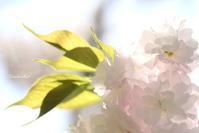 ~八重桜~ - My  Photo  Life