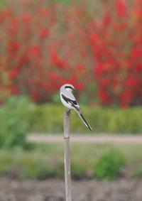 オオカラモズ17 - 野鳥との出会い