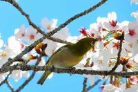 桜とメジロ - なんでもブログ2