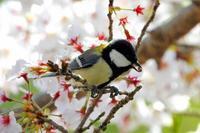 桜とシジュウカラ - なんでもブログ2