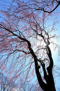 今日も桜 - Totoro のカメラと散歩 Blog
