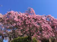 クイーン・エリザベス・パーク (Queen Elizabeth Park) の桜 - Prairie Life