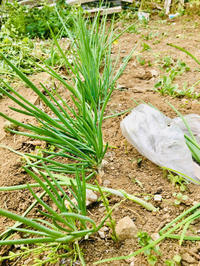 家庭菜園の小ネギさん、初収穫! - 素敵生活 Low costでも豊かに