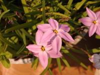 ハナニラ4色咲きました - キミティのお花とギター