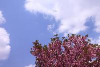 八重桜もハナミズキも満開 - さんじゃらっと☆blog2