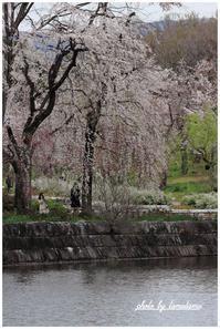 いつもの公園で枝垂れ桜。 - 今日のいちまい