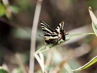 石砂山のギフチョウ - コーヒー党の野鳥と自然パート3