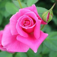 はじまる!バラのある幸せな暮らし研究所 - バラのある幸せな暮らし研究所