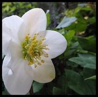 遅咲きのクリロ - 小さな幸せ