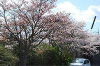 今年の桜も - 私の宝箱