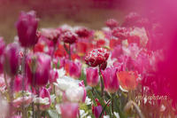 花菜ガーデン4/10から当面休園です - MIRU'S PHOTO