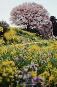 馬場の山桜つづき - A  B  C