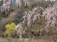 桜 13奈良県 - ty4834 四季の写真Ⅱ