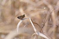 春の妖精に負けじと、ミヤマチャバネセセリ登場です。(2020/04/08) - 里山便り