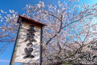 朝比奈川の桜並木 - やきとりブログ