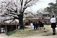 学校が5月の連休明けまで休校、学校教育の在り方を考えないと、感染防止に犠牲となるものを再度見直してみること。人間生きていくに、幸せになるにどうすべきか・・・夙川公園の桜とピカピカの一年生 - 藤田八束の日記