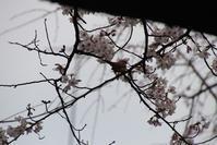 春爛漫、美しい桜の花、桜の花とすずめくん、すずめ君が桜の蜜大好きと言っています。 - 藤田八束の日記