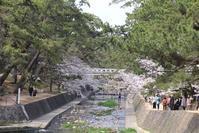 藤田八束の鉄道写真@阪急電車と桜、閑静な夙川公園は桜の名所・・・今年も美しい桜が咲きました - 藤田八束の日記