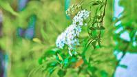 白い花 - bons souvenirs