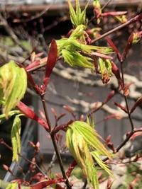 木の芽時 - 島暮らしのケセラセラ