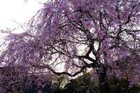 枝垂桜 - きずなの家創り