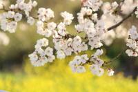 桜と菜の花 - 猪こっと猛進