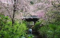 鎌倉明月院のしだれ桜 - 木洩れ日 青葉 photo散歩