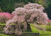 桜 14奈良県 - ty4834 四季の写真Ⅱ