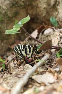 今年初のギフチョウ観察 - 蝶超天国