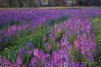 purple - BobのCamera