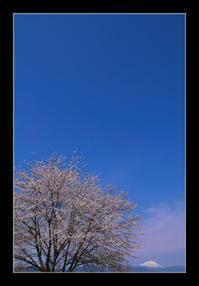 桜と雪山 - Desire