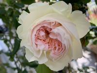 薔薇ボレロとその他、、、 - いととはり