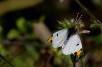 山野草GRⅢその2 - 紀州里山の蝶たち