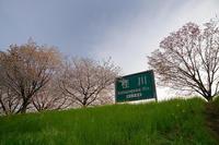 2020桜巡り@桂川堤防の桜並木 - デジタルな鍛冶屋の写真歩記