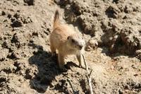 プレーリードッグの赤ちゃん(上野動物園 May 2019)その2 - 続々・動物園ありマス。