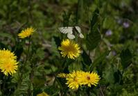 比企丘陵春のアゲハチョウ3種in2020.04.11埼玉県中北部の公園 - ヒメオオの寄り道