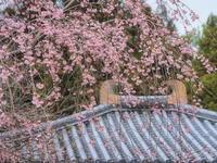 桜 15奈良県 - ty4834 四季の写真Ⅱ