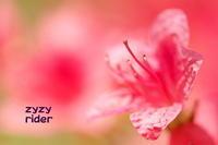 まぶしい赤(ヤマツツジ) - ジージーライダーの自然彩彩