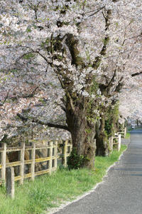 夕日の桜道、そぞろ歩けば - 風の彩り-2