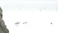 クロガモ - 北の野鳥たち