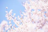 中野市高梨館跡公園のタカトウコヒガンザクラ - 野沢温泉とその周辺いろいろ2