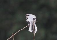 オオカラモズ18 - 野鳥との出会い