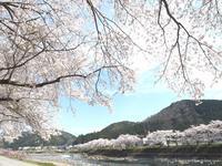 桜半分、釣り半分 - Tomorrow is another day    ~明日に希望を~