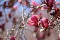 木蓮に紫色 - 平凡な日々の中で