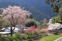 徳山桃沢の桜と花桃♪ - happy-cafe*vol.2